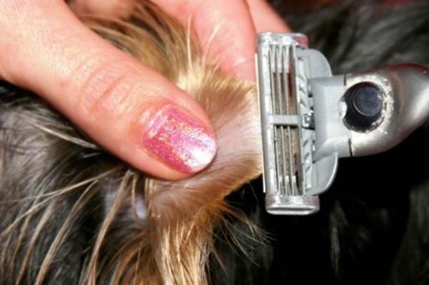Как почистить уши пуделю в домашних условиях